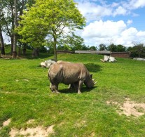 Rhino enclosure at Chester Zoo