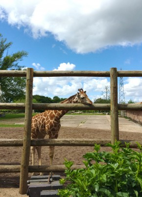 New giraffe addition at Chester Zoo