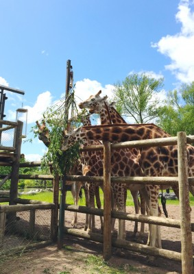 Giraffe feeding time at Chester Zoo