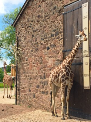 Giraffe enclosure, Chester Zoo