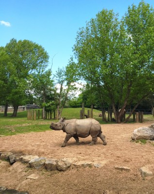 Rhino at Chester Zoo