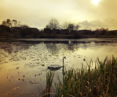 Swan on the secret lake, Levenshulme