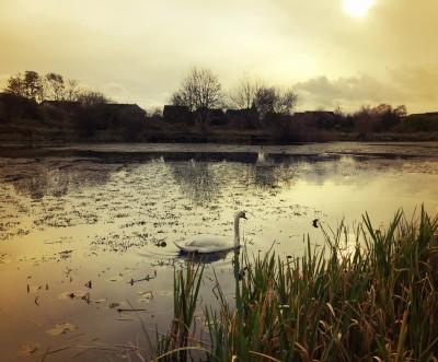 Swan on the secret lake, Levenshulme